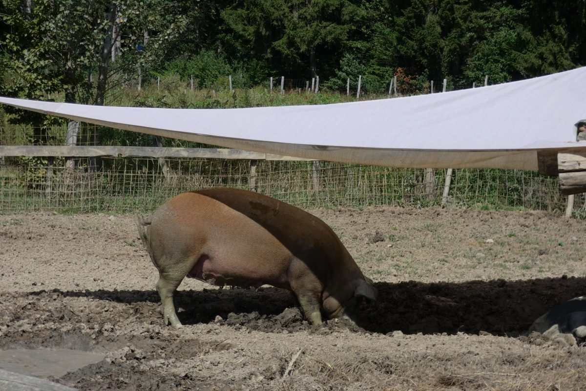 Biohof Labonca ist Heimat der berühmten Sonnenschweine
